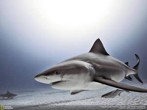 wallpaper-shark-photo-10